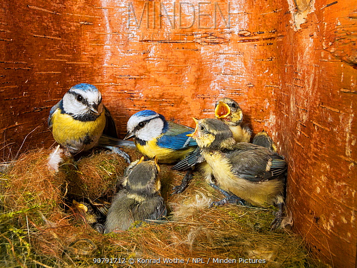 Blue tit  (Cyanistes caeruleus) feeding young in the nestbox,  Bavaria, Germany, May.
