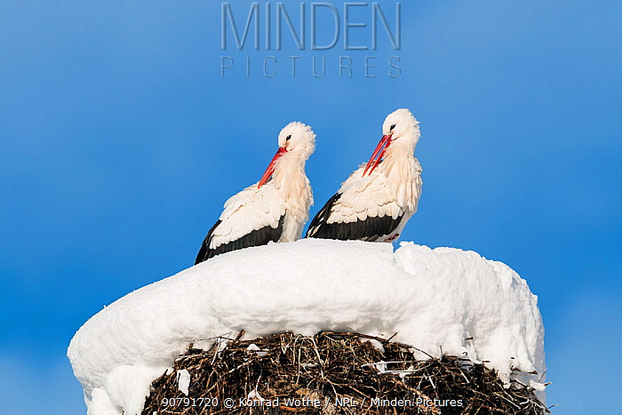 White storks (Ciconia ciconia) pair at nest site in winter, Bavaria, Germany, January.