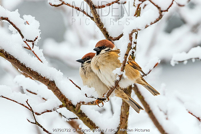 Tree sparrows (Passer montanus) in snow, Bavaria, Germany, March.
