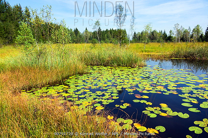 Moorland  pond with Waterlily pads (Nymphaea alba) Kochelsee-area, Upper Bavaria, Germany, September.