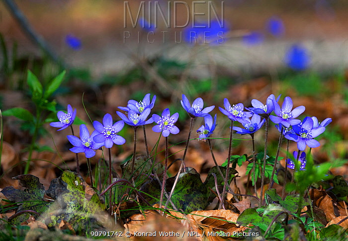 Liverwort (Hepatica nobilis) flowers, Germany, March.