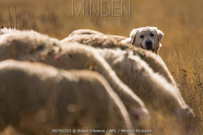 Maremma Sheepdog with sheep, Gran Sasso National Park, Abruzzo, Italy, June.