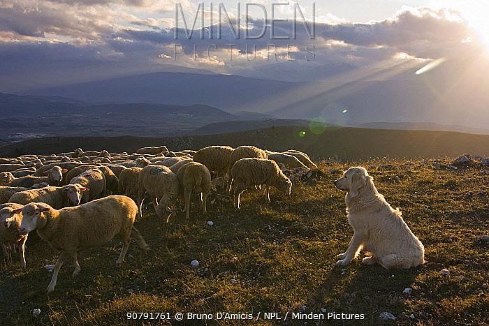 Maremma Sheepdog with sheep, Gran Sasso National Park, Abruzzo, Italy, June