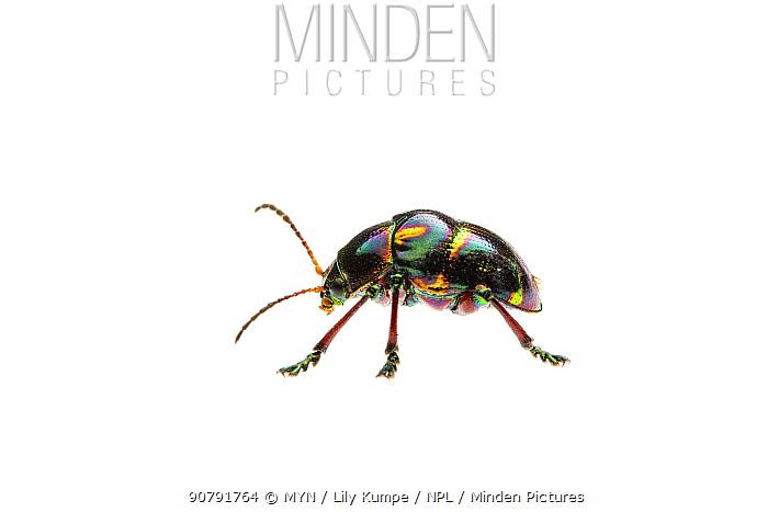 Shiny leaf beetle (Spilopyra sp) D'Aguilar National Park, Queensland, Australia. Meetyourneighbours.net project.