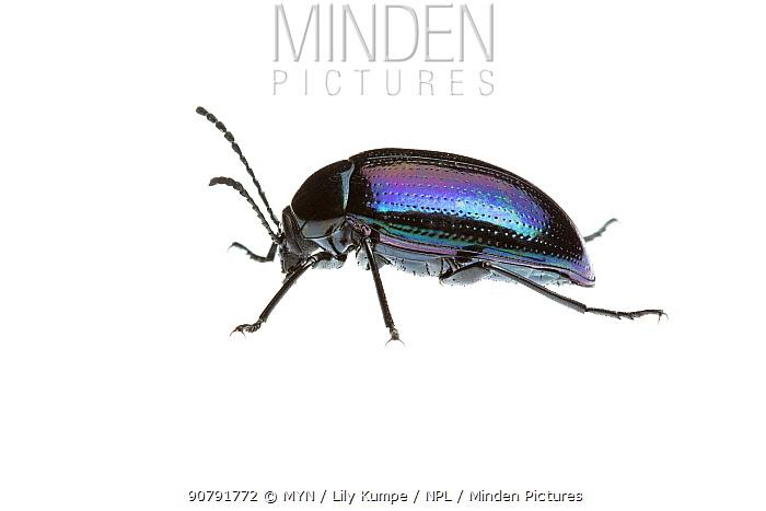Purple darkling beetle (Cyphaleus sp) William Bay National Park, Western Australia. Meetyourneighbours.net project.