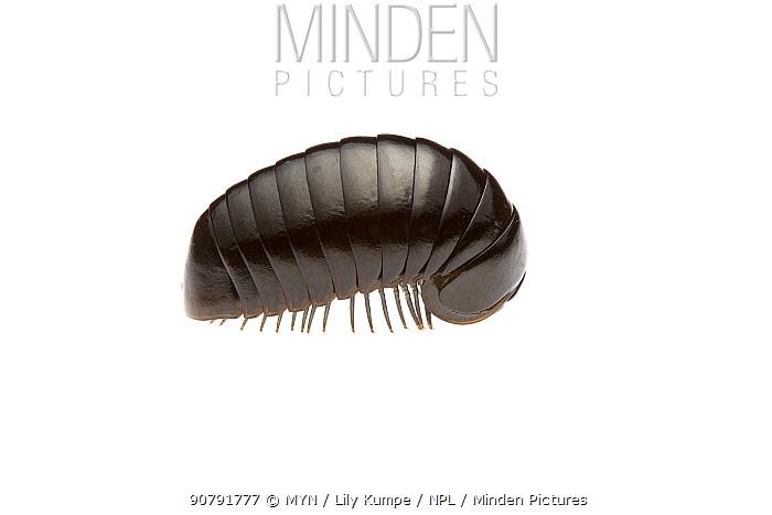 Pill millipede (Cynotelopus notabilis) Western Australia. Meetyourneighbours.net project.