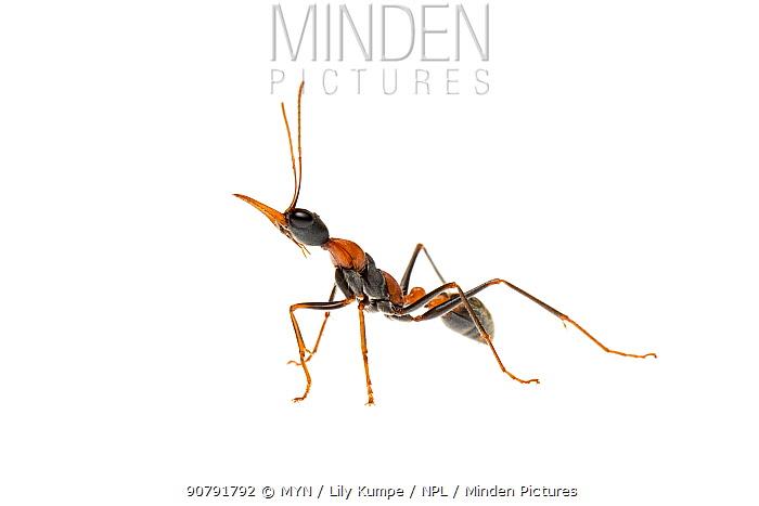 Jumper ant (Myrmecia nigrocincta) Queensland, Australia. Meetyourneighbours.net project.