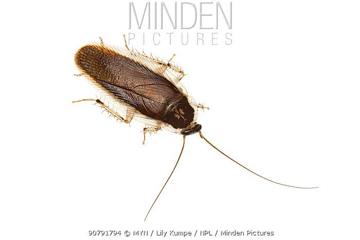 Johnrehnia cockroach (Johnrehnia sp) William Bay National Park, Western Australia. Meetyourneighbours.net project.