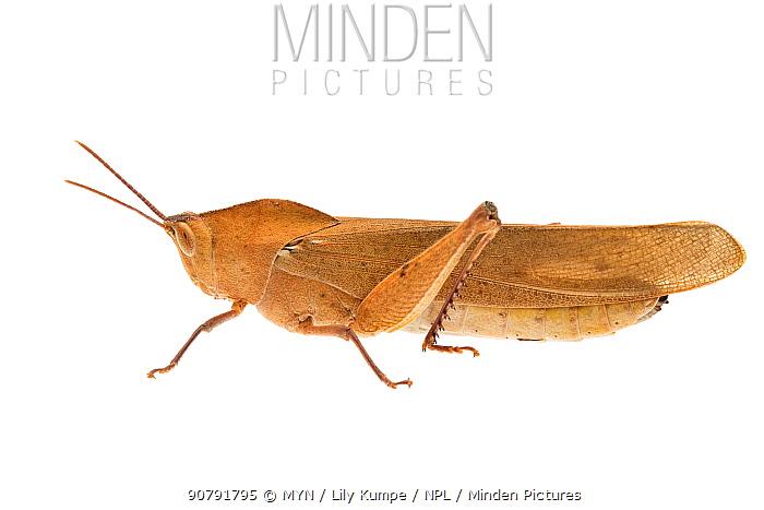 Gumleaf grasshopper (Goniaea australasiae) William Bay National Park, Western Australia. Meetyourneighbours.net project.