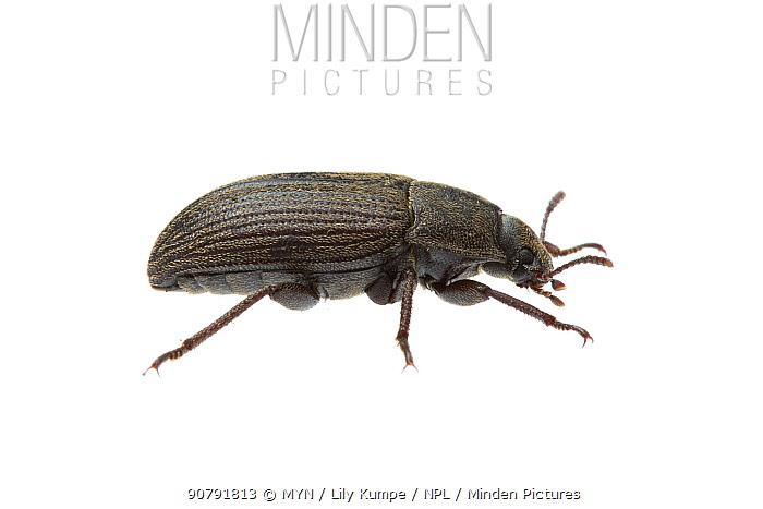 Darkling beetle (Gonocephalum sp) William Bay National Park, Western Australia. Meetyourneighbours.net project.