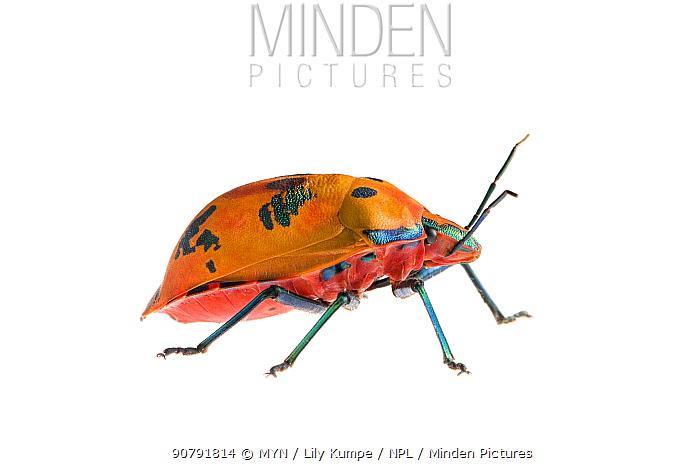 Cotton harlequin bug (Tectocoris diophthalmus) Queensland, Australia. Meetyourneighbours.net project.