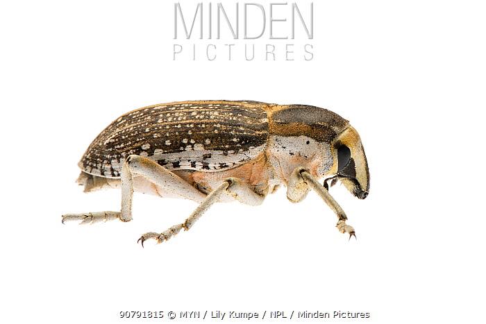 Weevil (Conorhynchus pulverulentus) Omnogovi Province, Mongolia. Meetyourneighbours.net project.