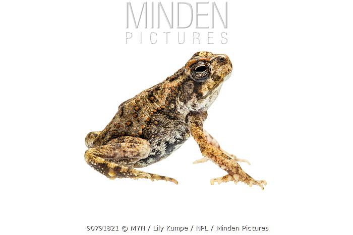 Cane toad (Rhinella marina) Queensland, Australia. Meetyourneighbours.net project.