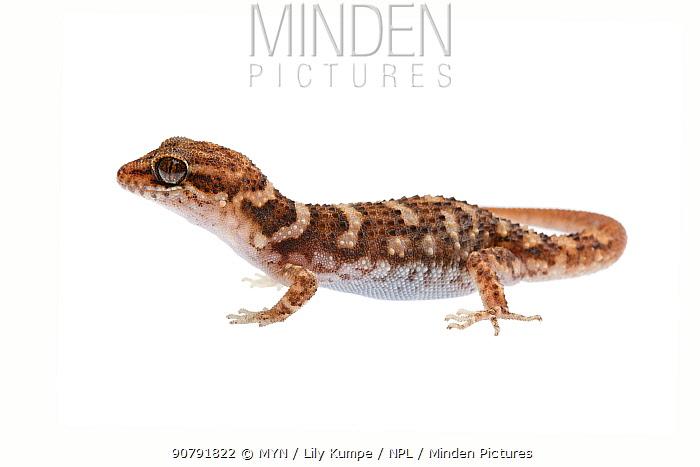 Bynoe's gecko (Heteronotia binoei) William Bay National Park, Western Australia. Meetyourneighbours.net project.