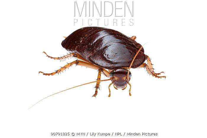 Bush cockroach (Platyzosteria sp) William Bay National Park, Western Australia. Meetyourneighbours.net project.