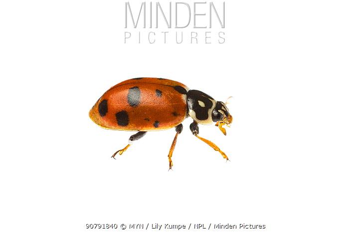 Adonis ladybird (Hippodamia variegata) Bogd Khan Mountain, Ulaanbaatar Province, Mongolia. Meetyourneighbours.net project.