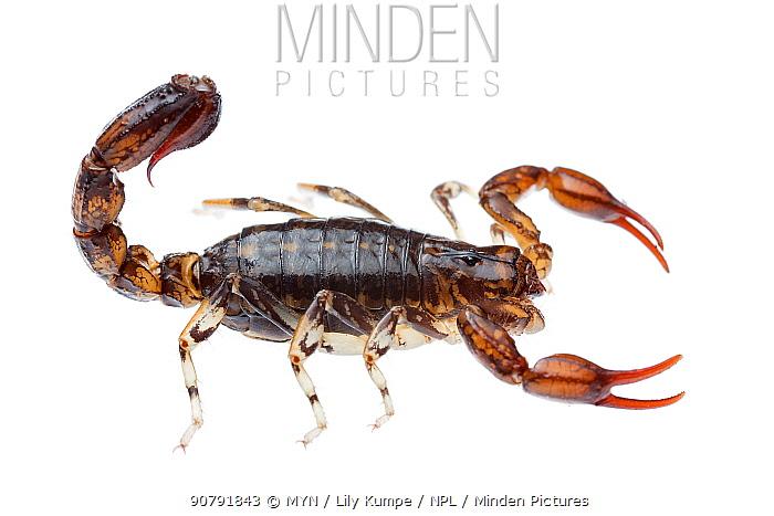 Wood scorpion (Cercophonius sp) William Bay National Park, Western Australia. Meetyourneighbours.net project.