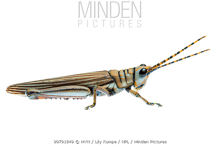 Western Acacia Grasshopper, new species, William Bay National Park, Western Australia. Meetyourneighbours.net project.