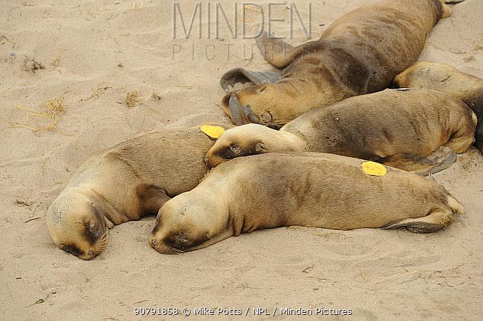 Hookers or New Zealand sealion (Phocarctos hookeri) tagged pups at beach colony.  Sandy Bay.  Enderby Island.  Auckland Islands. Subantarctic New Zealand.