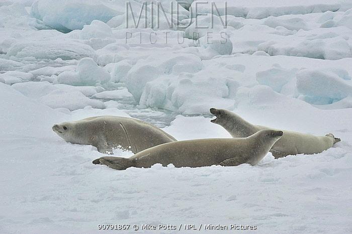 Weddell seal (Leptonychotes weddellii) resting on ice edge.  Commonwealth Bay.  East Antarctica.