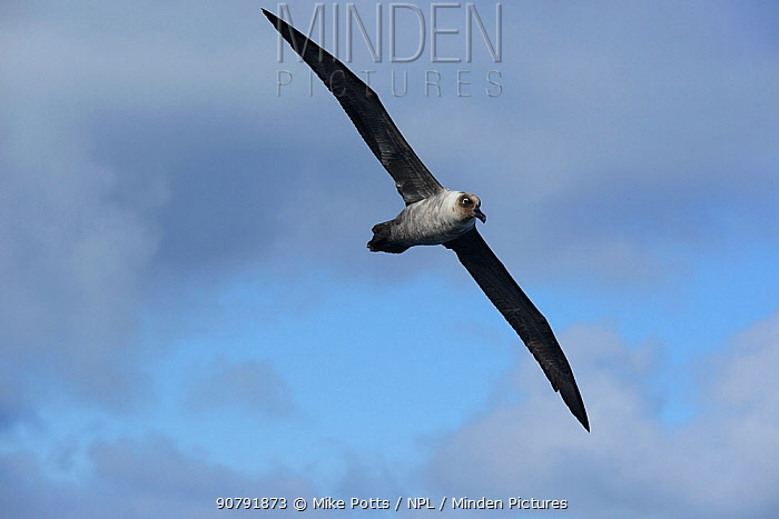 Light Mantled Sooty albatross (Phoebetria palpebrata) over sea, south of Campbell Island.  Subantarctic New Zealand.