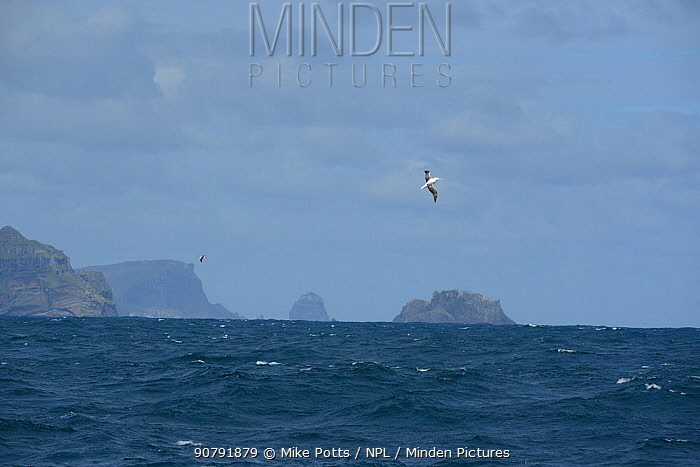 Southern Royal albatross (Diomedea epomophora) off the Campbell Islands where th majority of them breed. Subantarctic New Zealand.