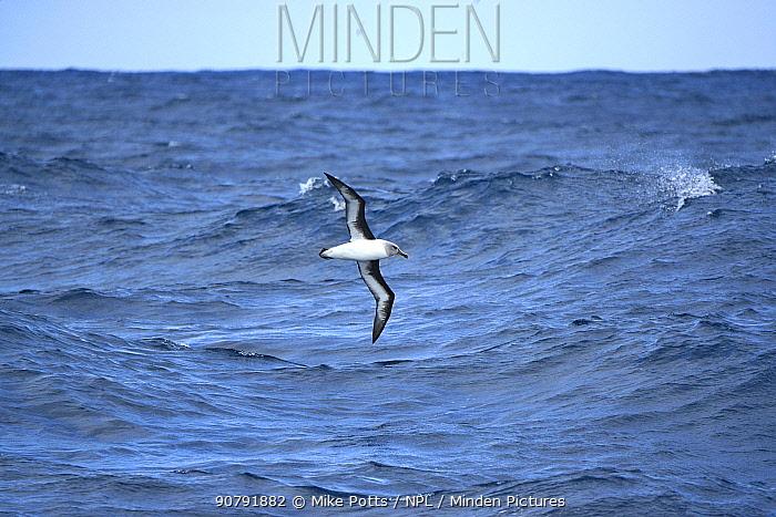 Grey Headed albatross (Diomedea chrysostoma) over sea  south of Campbell Islands.  Subantarctic New Zealand.