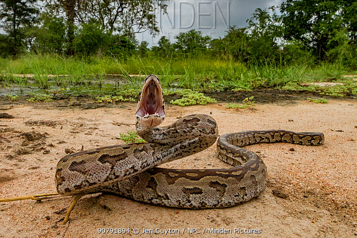 African rock python (Python sebae) in a defensive posture in Gorongosa National Park, Mozambique