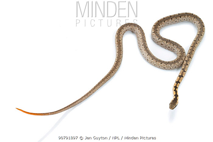 Mopane snake (Hemirhagerrhis nototaenia), from the Greater Gorongosa Ecosystem, Mozambique. Here, the snake shows its defensive tail display -- the contrastingly colored orange tail is held up to distract predators from the snake's head. Photographed in mobile field studio.