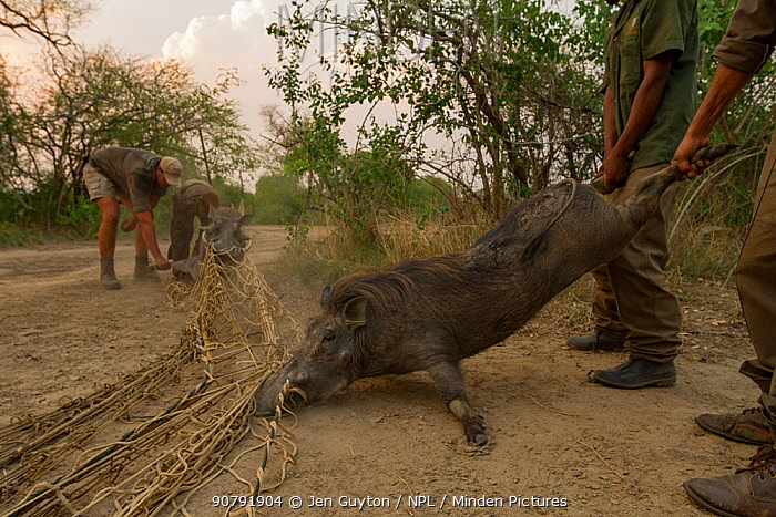 Warthogs (Phacochoerus africanus) captured in a net to be translocated to Maputo Special Reserve,  Gorongosa National Park, Mozambique. October 2016.