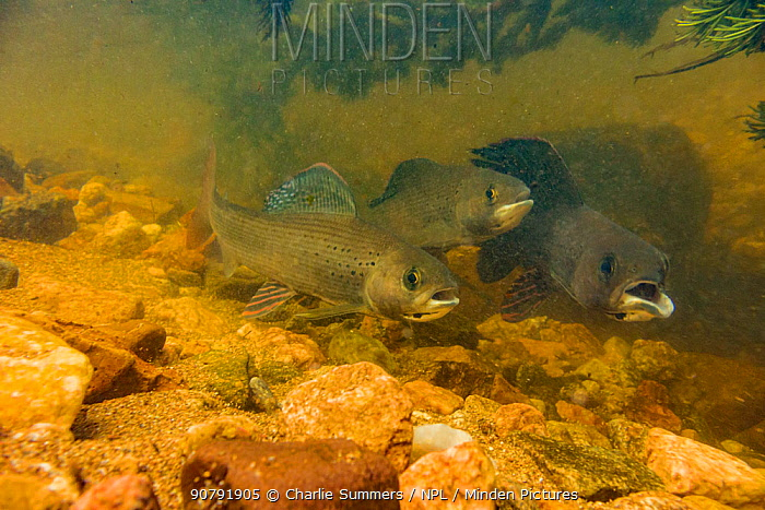 Arctic grayling (Thymallus arcticus) together in the swift current of a spawning stream.  They will feed when the current brings food to them.  The male on the right has a deformed mouth from a fisherman removing a hook roughly.  North Park, Colorado, USA, June.
