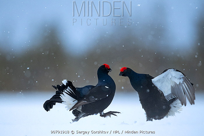 Black Grouse (Tetrao tetrix) males fighting at lek in the snow, Tver, Russia. April