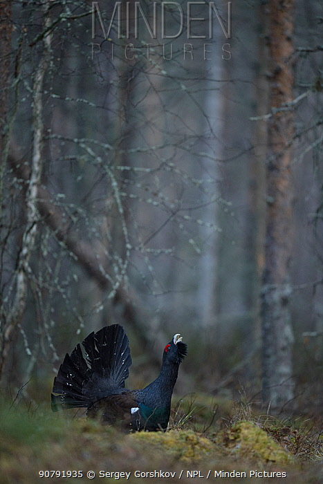 Western capercaillie (Tetrao urogallus) male displaying, Tver, Russia. April