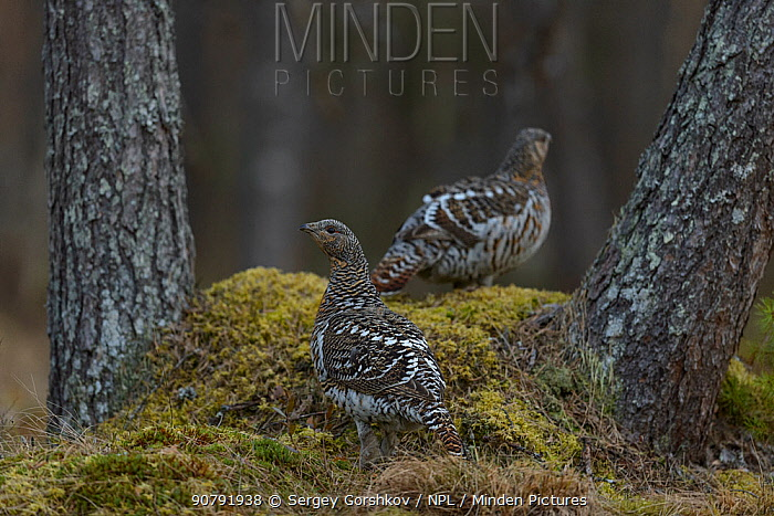 Western capercaillie (Tetrao urogallus) females, Tver, Russia. May