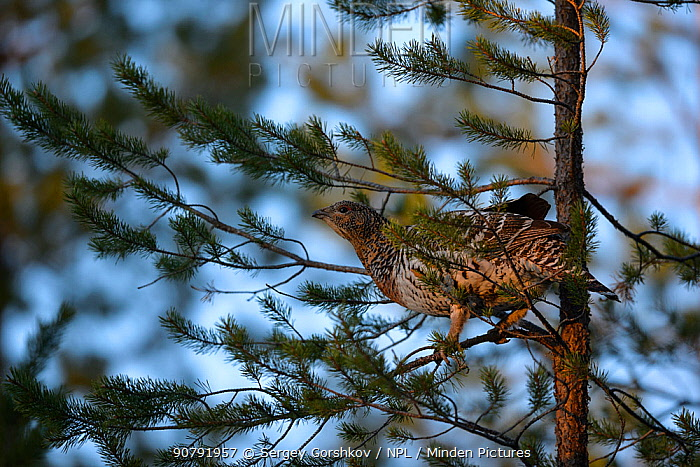 Western capercaillie (Tetrao urogallus) female in tree,  Tver, Russia. May