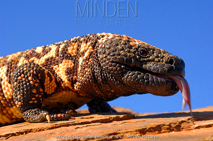 Gila monster (Heloderma suspectum) Arizona, USA. Captive.