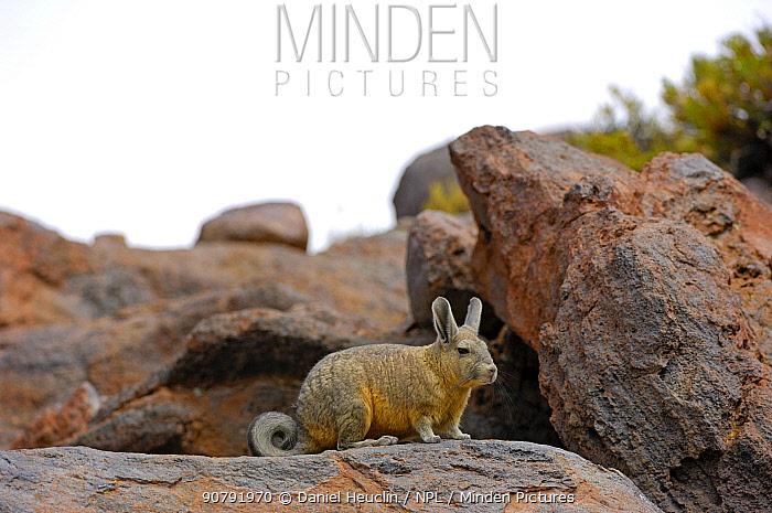 Southern viscacha (Lagidium viscacia) near Laguna Colorada, Bolivia.