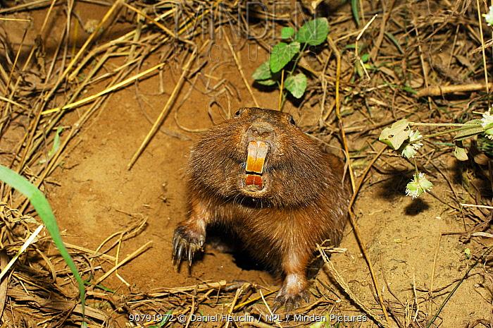 Conover's tuco-tuco (Ctenomys conoveri) digging burrow Kaa-Iya National Park, Bolivia.