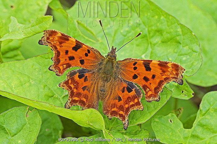 Comma  butterfly (Polygonia c-album)  Brockley Cemetery, Lewisham, London, England, UK, August.