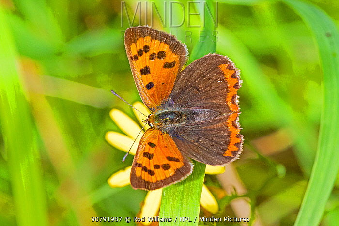 Small copper butterfly  (Lycaena phlaeas)  Brockley Cemetery, Lewisham, London, England, UK, August.