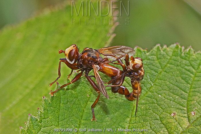 Thick-headed flies (Sicus ferrugineus)  mating pair, Brockley Cemetery, Lewisham, London, England, UK, July.