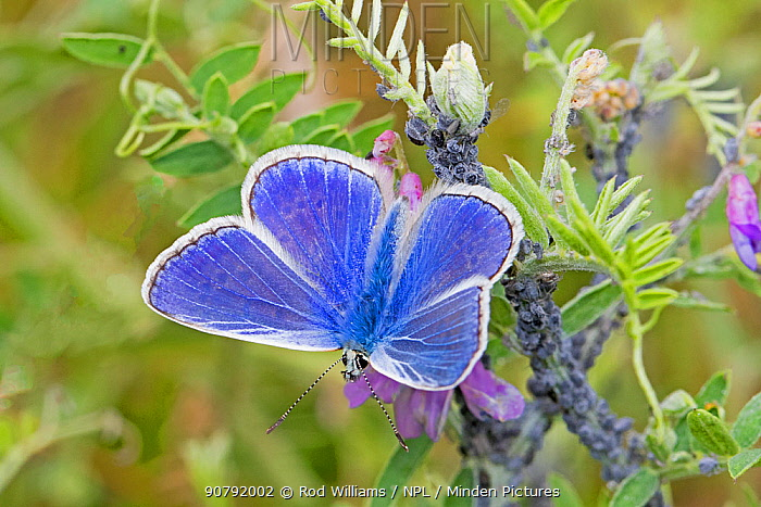 Common blue butterfly  (Polyommatus icarus) on tufted vetch, Sutcliffe Park Nature Reserve, Eltham, London, England, UK, July.