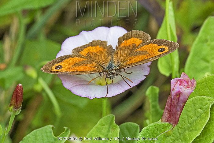 Gatekeeper butterfly (Pyronia tithonus) malefeeding on field bindweed,  Brockley Cemetery, Lewisham, London, England, UK, July.