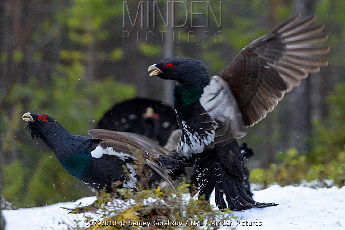 Western capercaillie (Tetrao urogallus) males fighting at a lek, Tver, Russia. May