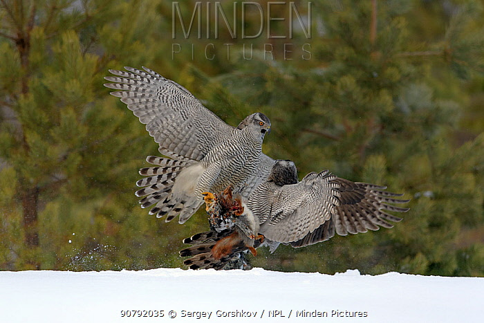 Northern s (Accipiter gentilis) fighting over squirrel carcass, Finland . March