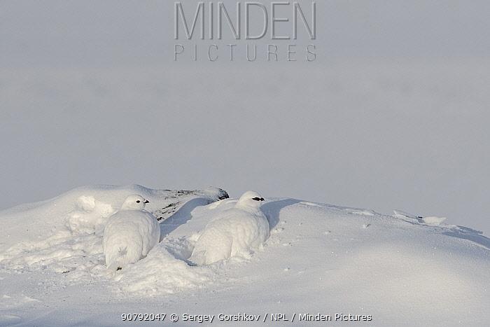 Rock ptarmigan (Accipiter gentilis) male and female in winter plumage,  Taymyr Peninsula, Siberia, Russia . March
