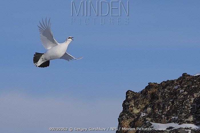 Rock ptarmigan (Lagopus muta) flying and calling, Taymyr Peninsula, Siberia, Russia . March