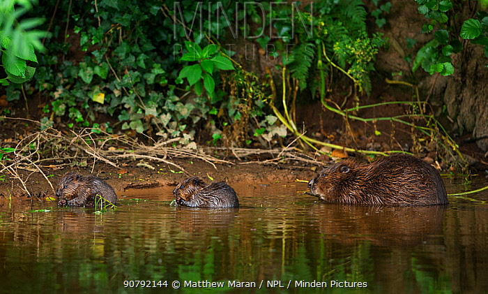 Beaver (Castor fibre) female feeding on willow bark with her two kits, River Otter, Devon, England, UK, July.