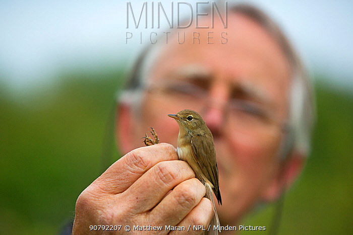 Man with Chiffchaff (Phylloscopus collybita) during ringing study, in reedbeds on the Otter Estuary, East Devon, England, UK, May 2017.