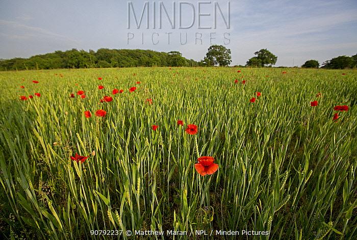 Wild poppy (Papaver rhoeas) growing in Wheat field, East Devon, England. UK